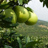 Honey Pomelo Orchard