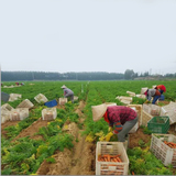 Fresh Carrot Harvest