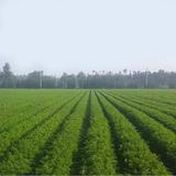 Carrot Plant Base