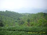 Orangic Tea Garden